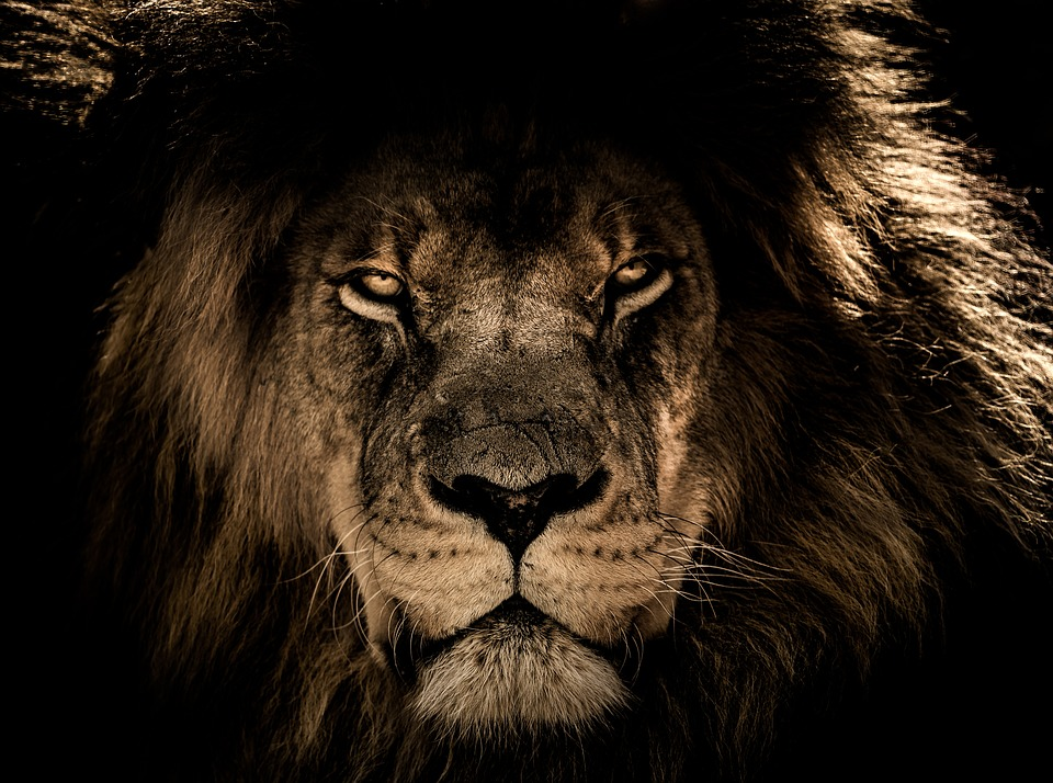 I can't explain why but the lion was always my favorite animal. Maybe because he just follows his instincts and does what he wants. The lion is the prime example of the alpha male. He's the alpha animal of the jungle. That's right the king of the jungle is also the most alpha animal there is.